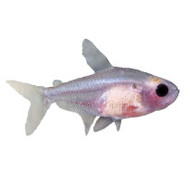 Red Belly X-Ray Tetra