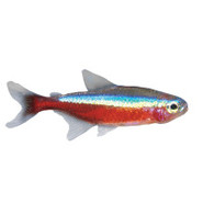 Cardinal Tetra
