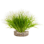 Blue Ribbon Grass Plant
