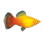 Sunburst Platy