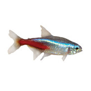 Jumbo Neon Tetra